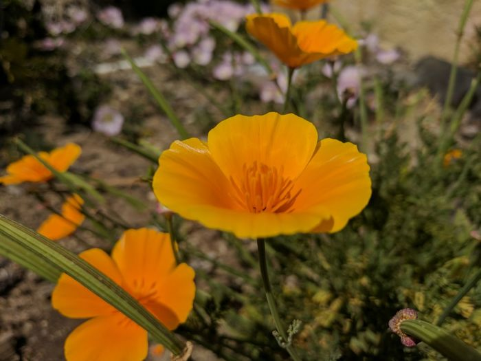 California's state flower State Flower California State Flower Nature Flower Poppy California Golden Poppy Golden Poppy California Poppy Plant Outdoors Focus On Foreground Close-up No People California Spring Springtime Spring Flowers CA EyeEmNewHere Outdoors Photograpghy  Backgrounds Paint The Town Yellow