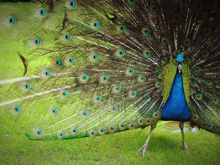 Peacock in the fanulious garden of the Dutch Royal Palace 't Loo in Apeldoorn . Palacegarden Dutch Royal Family Whatabird Balts Imponising Peacock Colors Peacock Peacock Feather Fanned Out Bird One Animal Feather  Animal Wildlife Animal Themes Showing Beauty In Nature Multi Colored Nature Blue Close-up Beauty Day No People