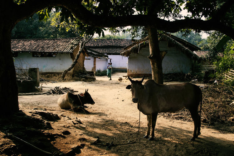 Jharkhand, India Village India Jharkhand Nature Landscape People Colors Silent Moment Silent Pure Life Pure Beauty Mammal Animal Themes Built Structure Animal Domestic Animals Pets Architecture Livestock Tree Group Of Animals