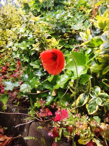Single Poppy Growth Nature Plant Beauty In Nature Outdoors Leaf Green Color Flower No People Day Red Fragility Freshness Close-up Flower Head