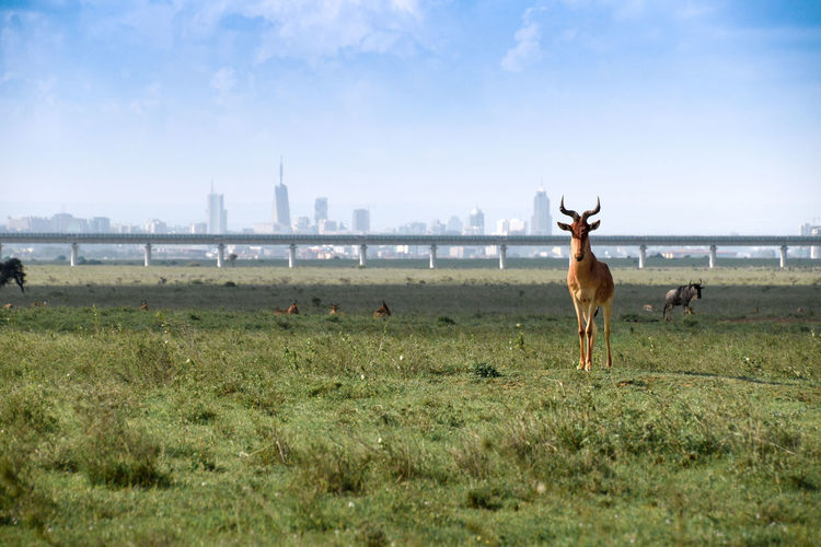 Hatrbeest guarding the entrance to Nairobi city. Taken at Nairobi National Park, a perfect picutre capturing both an urban skyline as well as wildlife and nature. Animal Animal Themes Mammal Sky Grass Land Animal Wildlife Building Exterior Nature Day Architecture Group Of Animals Built Structure Travel Destinations No People Outdoors Hartbeest Wilderbeast Railway City Cityscape Landscape Urban Urban Skyline