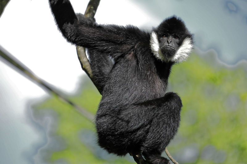 A human expression on a gibbon's face