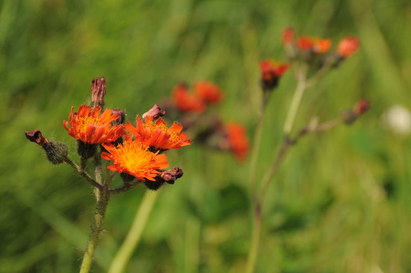 harmony with everyone.... Mypointofview Naturelovers Beautiful Flowers Beautiful Nature Harmony Wildflower Orange Color Orange Flower Head Flower Nature Reserve Petal Close-up Plant Wildflower Uncultivated Plant Life