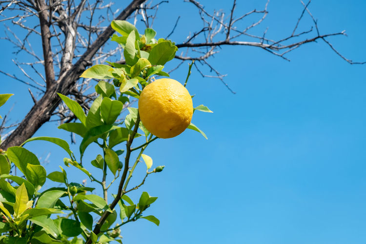 Blue Branch Citrus Fruit Day Food Food And Drink Freshness Fruit Fruit Photography Fruit Tree Growth Healthy Eating Leaf Lemon Lemon Tree Low Angle View Nature No People Orange Outdoors Plant Plant Part Sky Tree Yellow