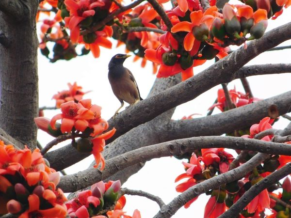 Looking For Someone, I Guess Bird Wildlifephotography Flowers Red Tree Showcase March Flower Buds Nature Little Bird Maina Spring Spring Has Arrived Nature Photography Nature Photos Nature_collection Bird Watching Enjoying Nature Birds Theme Beautiful Nature Wildlife & Nature Birds In Wild Nature_collection