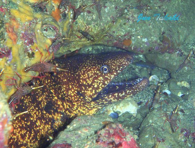 館山のウツボ。 Nature_collection Water - Collection Skin Diving Diving