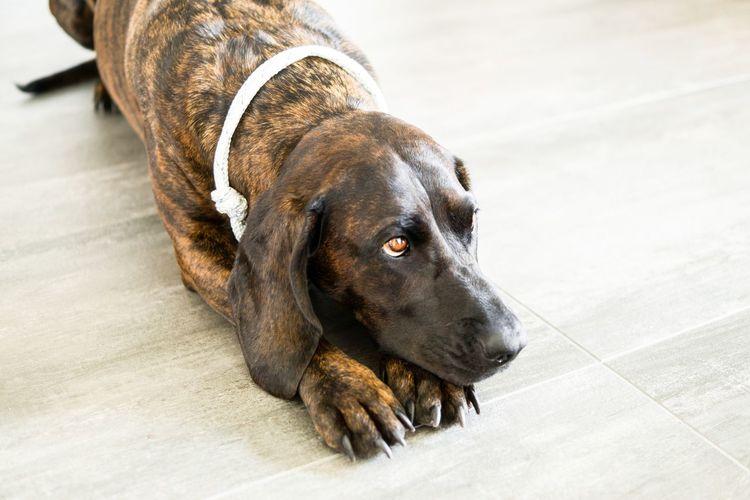Close-up of dog lying on hardwood floor
