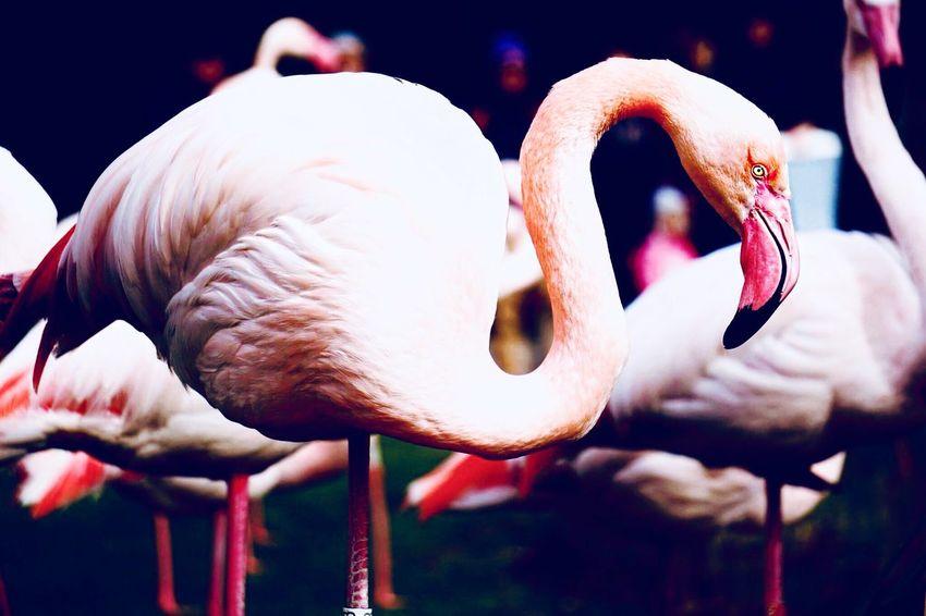 Pink Flamingo EyeEm Selects Animal Animal Themes No People Close-up Focus On Foreground Animal Wildlife Bird Flamingo