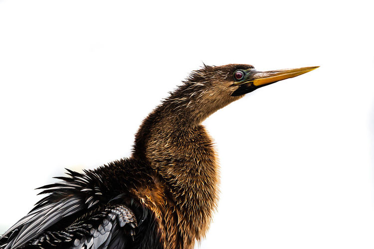 Animal Themes Animal Vertebrate Bird One Animal Animal Wildlife Animals In The Wild Side View Close-up No People White Background Copy Space Studio Shot Beak Nature Day Clear Sky Profile View Young Animal Animal Body Part Animal Neck