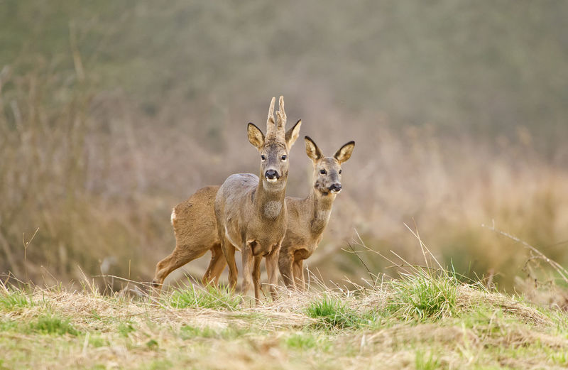 CLOSE-UP OF Deer In A FIELD