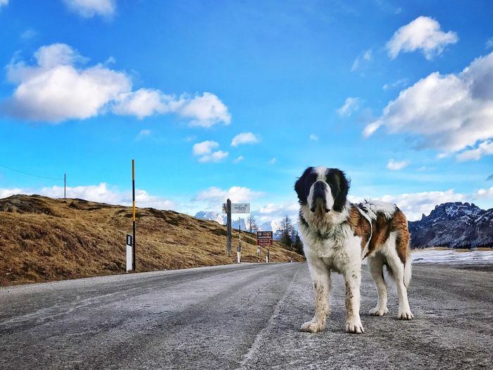 Domestic Animals Animal Themes Pets Dog Road Sky No People Day Cloud - Sky Landscape Nature Outdoors Trentino Alto Adige IPhoneography IPhone 7 Passo Valles Sanbernardo Italy