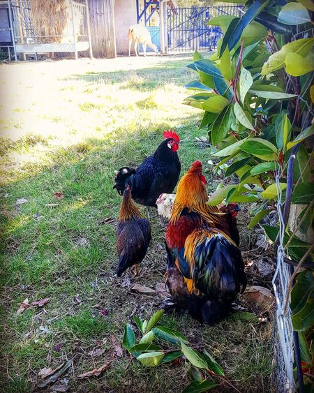 Animal Themes Nature Outdoors Beauty In Nature Nature Photography Fall Colors Colorful Nature_collection Vibrant Color Natural Beauty Hens In Backyard Coq Poules Animalfarm
