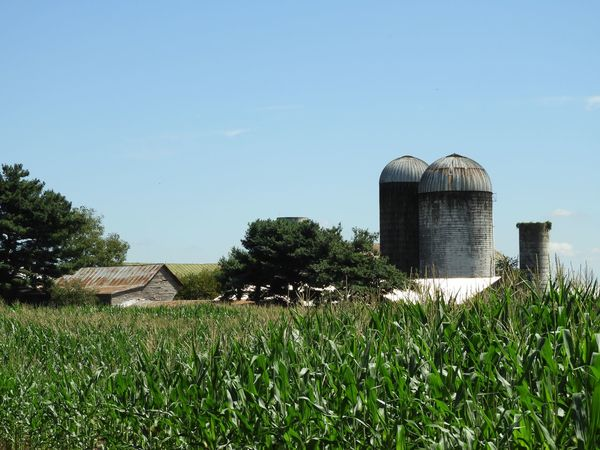 Silos and old barn in corn field Agriculture Old Barn Weathered Rustic Old Barn Barn Silos Plant Peaceful View Corn Silos Farmland Corn Stalks Vegetable Corn Crop Corn Plant Built Structure Grass Building Exterior Nature Sky Copy Space Tree Landscape Outdoors Sunlight Green Color Clear Sky Land Day No People Field