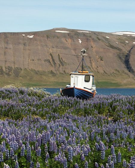 Boat landed on a lupine field Iceland Purple Flower Lupine Field Lupine Flowers Alaskan Lupie Transportation Mode Of Transportation Nautical Vessel Nature Water Land The Great Outdoors - 2019 EyeEm Awards Landscape Scenics - Nature Flowering Plant Mountain Outdoors Flower