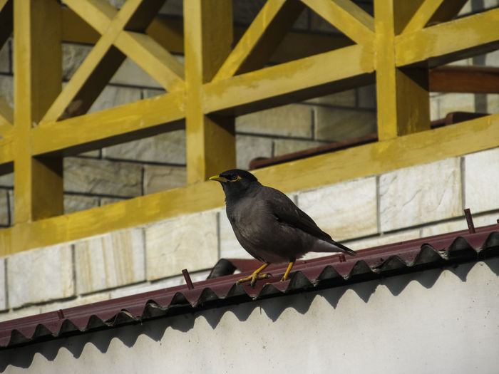 Mynah sitting on the roof Animal Themes Animal Wildlife Animals In The Wild Bird Day Full Length Mynah Mynahbird Nature No People One Animal Outdoors Perching Railing