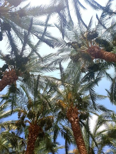 Low angle view of palm trees against clear sky