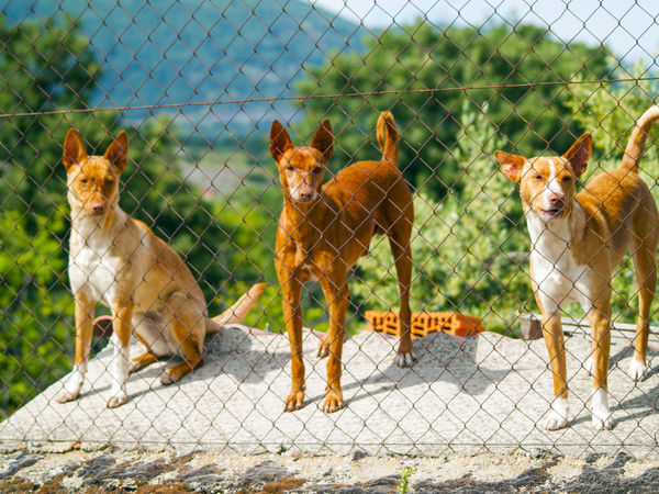 Dogs Looking At Camera Metallic Fence Security Animal Animal Themes Animals Brown Dog Chainlink Fence Countryside Life Dog Dog Love Domestic Animals Environment Guard Dog Mammal No People Outdoors Pet Pets Private Protection Rural Life Safety Security System