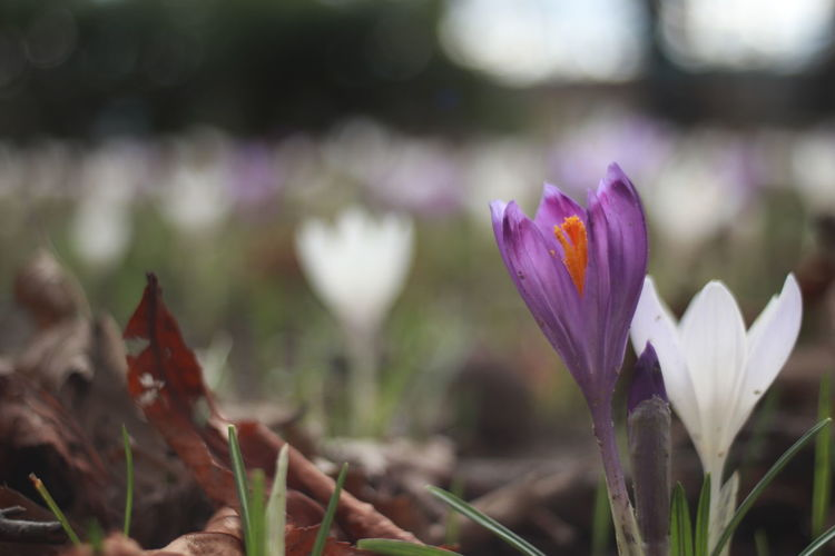 A Field Of Crocuses Beauty In Nature Blooming Crosusses Over Sno Flower Petal Purple And White Crocuses Purple And White Flowers Spring Flowers EyeEmNewHere