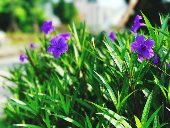 Two flowers in violet Plant Growth Beauty In Nature Flowering Plant Flower Freshness Plant Part Green Color Leaf Vulnerability  Fragility Close-up Nature Purple Focus On Foreground Petal Day Inflorescence Flower Head No People