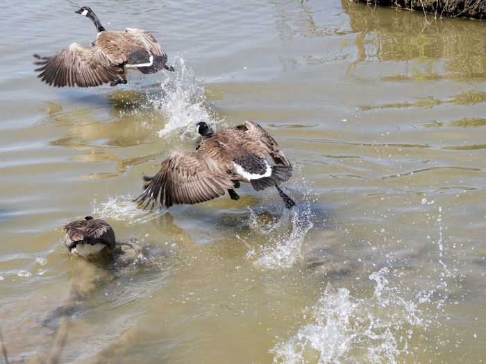 Animal Themes Animal Wildlife Beauty In Nature Bird Canada Goose Taking Off Day Goose Lake Mallard Duck Nature No People Outdoors Rippled Swimming Water Water Bird Wildlife Young Animal