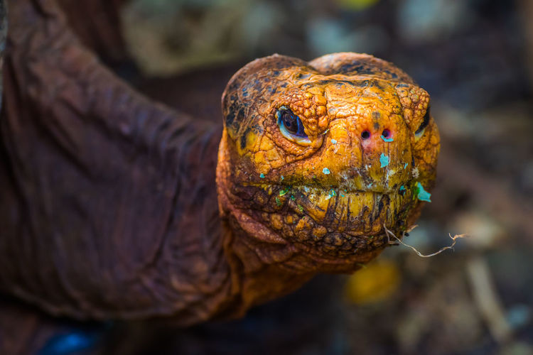 CLOSE-UP OF THE HEAD OF A GIANT TORTOISE LOOKING AT CAMERA