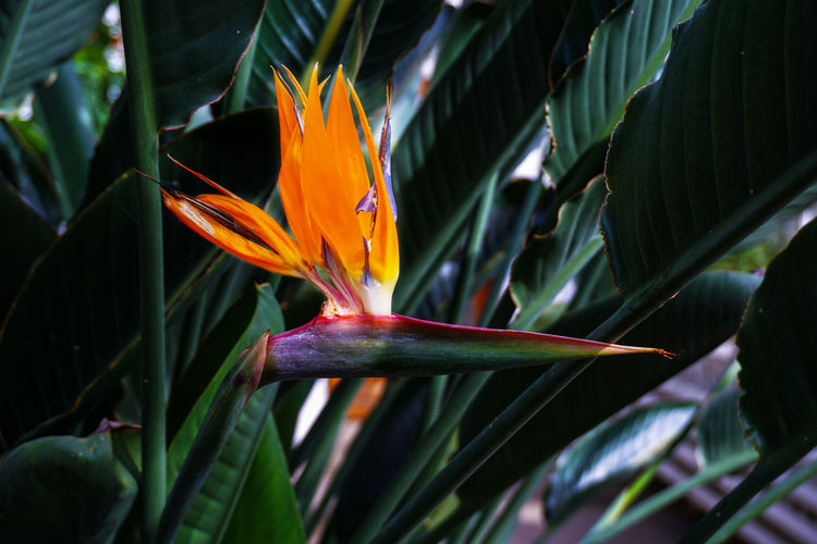 EyeEm Nature Lover Beauty In Nature Bird Of Paradise - Plant Close-up Day Flower Flower Head Flowering Plant Fragility Freshness Green Color Growth Inflorescence Leaf Nature No People Orange Color Outdoors Petal Plant Plant Part Vulnerability