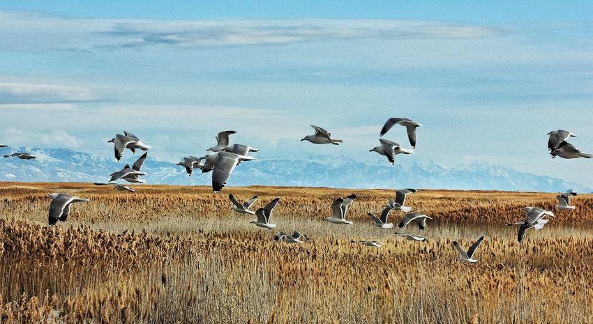 Seagulls Inflight Gulls Birds Birdrefuge Landscape Landscapes With WhiteWall