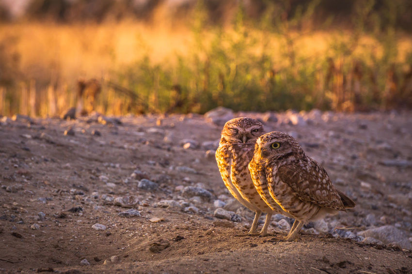 I am honored to be able to document these amazing creatures. They are called Burrowing owls, they are a endangered species. Look them up and you will see how amazing these creatures are. Animal Themes Animal Wildlife Animals In The Wild Bird Burrowing Owl Burrowing Owls Close-up Day Endangered Species Field Focus On Foreground Nature No People One Animal Outdoors Owls The Great Outdoors - 2017 EyeEm Awards