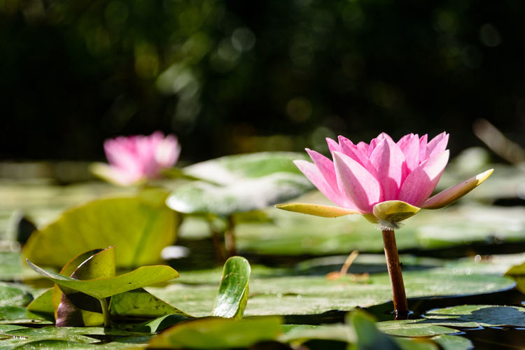 Close up of water lily Nature The Week On EyeEm Beauty In Nature Blooming Close Up Day First Eyeem Photo Flower Flower Head Fragility Freshness Garden Greenery Growth Leaf Lily Pad Lotus Lotus Water Lily Nature Outdoors Petal Pink Color Plant Water Water Lily