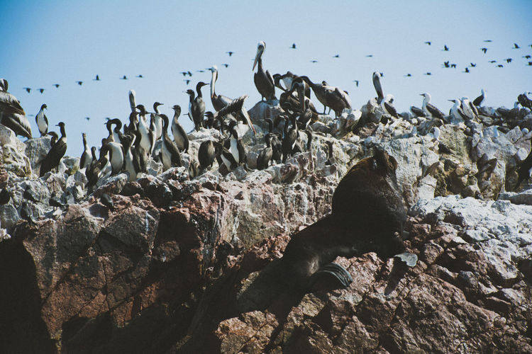 View of cormorants and elephant seal on rocky shore