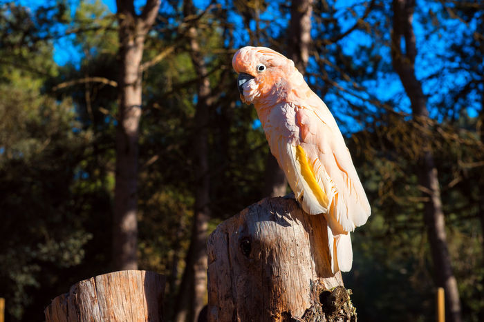 The Salmon-crested cockatoo perching on a tree stump Aitana Animal Themes Beauty In Nature Bird Birds Wildlife Branch Cockatoo Day Europe Feather  Nature No People One Bird Outdoors Parrot Safari Salmon-crested Cockatoo South SPAIN Specie Tree Tree Stump Wild Wildlife Zoo