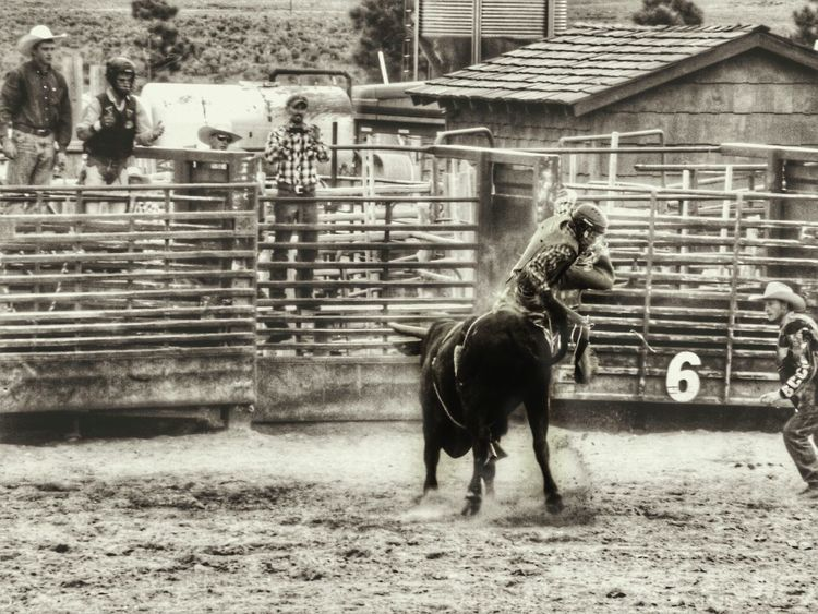 A bull kick-off the cowboy during a Rodeo in Bryce, Utah Animal Themes Bench Bull Kick Bull Riding/rodeo Capture The Moment Cow Domestic Animals Falling From A Bu Herbivorous Historic Livestock Park Riding A Bull Rodeo