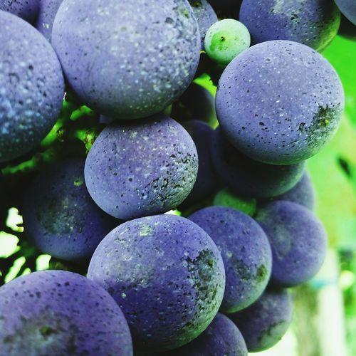 Grapes 🍇 Violet Winegrapes Details
