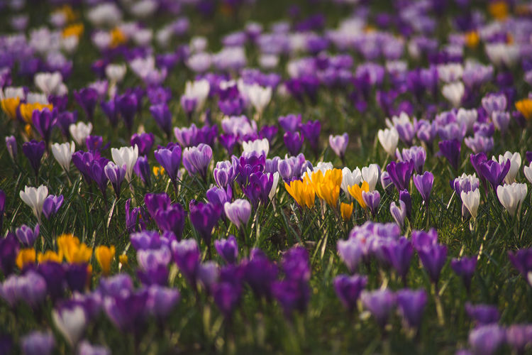 Purple and yellow crocuses blooming on field