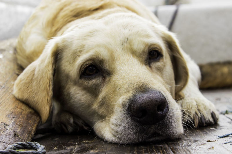 Bored Dog Animal Animal Head  Animal Themes Cool Dog Cute Dog Dogs Dogslife Domestic Animals Labrador Labrador Retriever LabradorLove LabradorRetriever Labradors Looking At Camera One Animal Pets Portrait Relaxation Relaxing