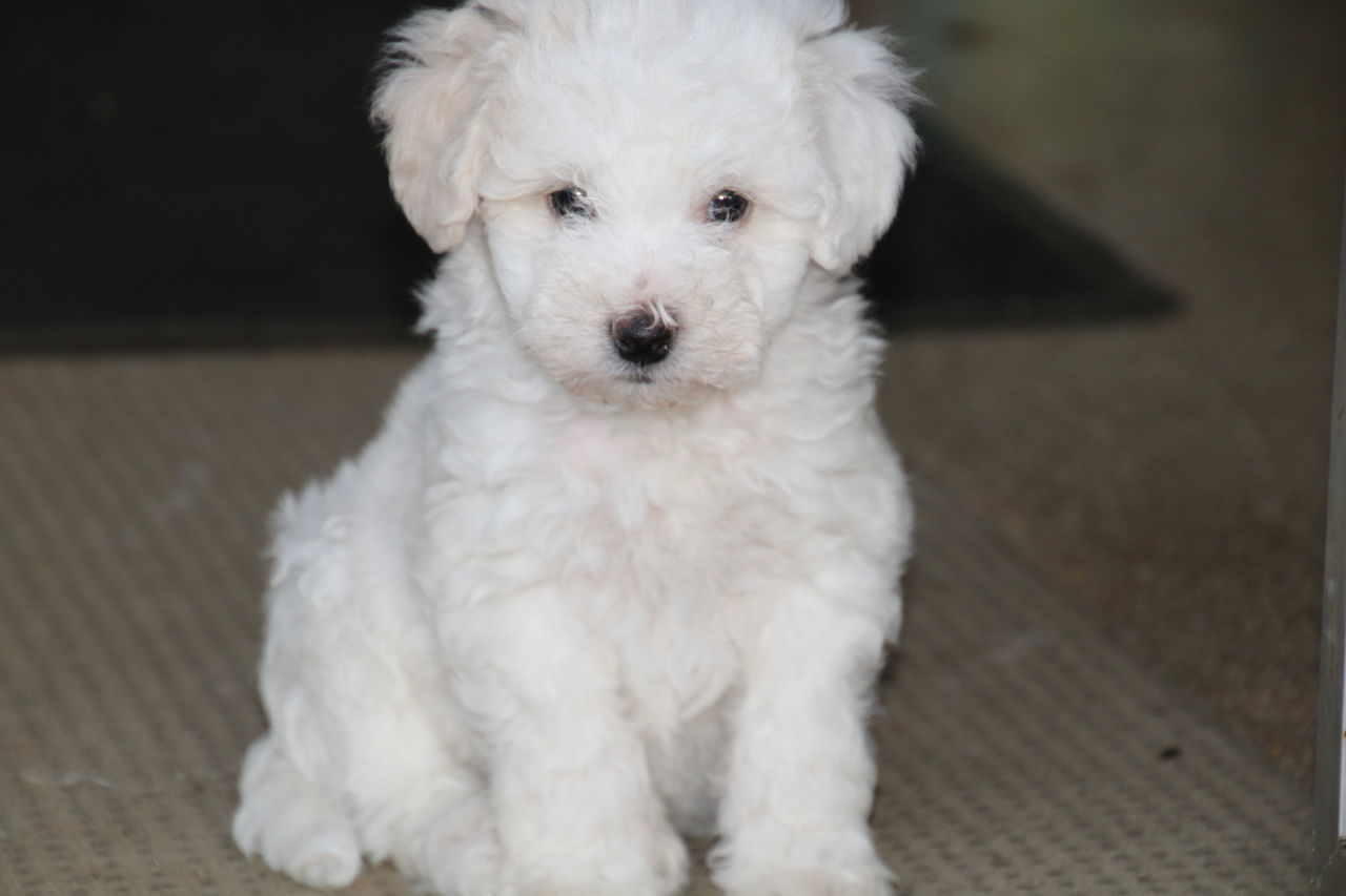 one animal, dog, pets, white color, domestic animals, animal themes, mammal, looking at camera, portrait, focus on foreground, cute, west highland white terrier, indoors, no people, puppy, close-up, day