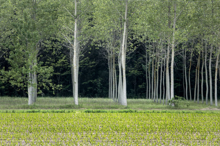 Beauty In Nature Betulla Birch Tree Birch Wood Boschetto Field Grass Green Color Landscape Natural Lines Nature Nature Photography Wood Forest Woods
