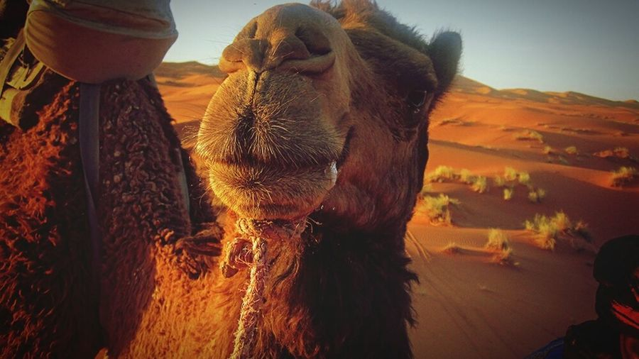 Learn & Shoot: Working To A Brief Camel Deserts Around The World Dunes Of Merzouga Morocco