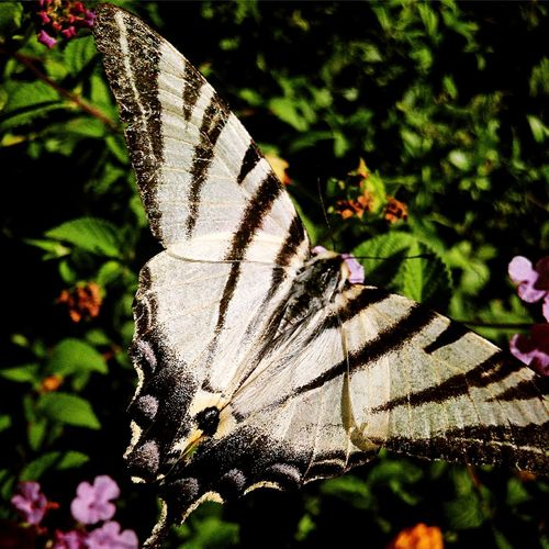 Italian Zebra Butterfly Butterfly - Insect Animals In The Wild Zebra Animal Themes Insect Animal Wing Butterfly Focus On Foreground Beauty In Nature Close-up Growth Spread Wings