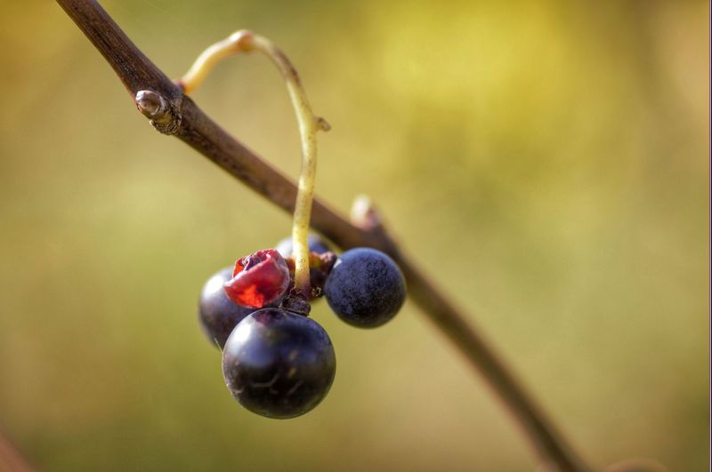 Fruit Freshness Growth Agriculture Nikon Photography Colors Of Nature EyeEmNewHere Vineyards In Autumn Hello World Vineyard Colors Of Autumn Grapes🍇 Baden Austria Autumn 2017 Eyeem4photography Nature_collection EyeEm Gallery Autumn Collection Wonderful Nature Autumn Colors Be. Ready. This Is Queer