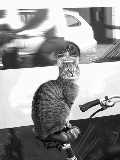 Bicycle Cat Street Streetphotography Monochrome Domestic Cat One Animal Animal Themes Pets Feline