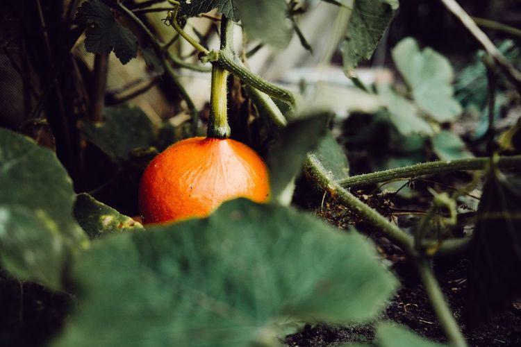 Close-up of pumpkin  growing on field