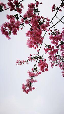 Cloudy pink. Malus Spectabilis Spring Time P9 Huawei
