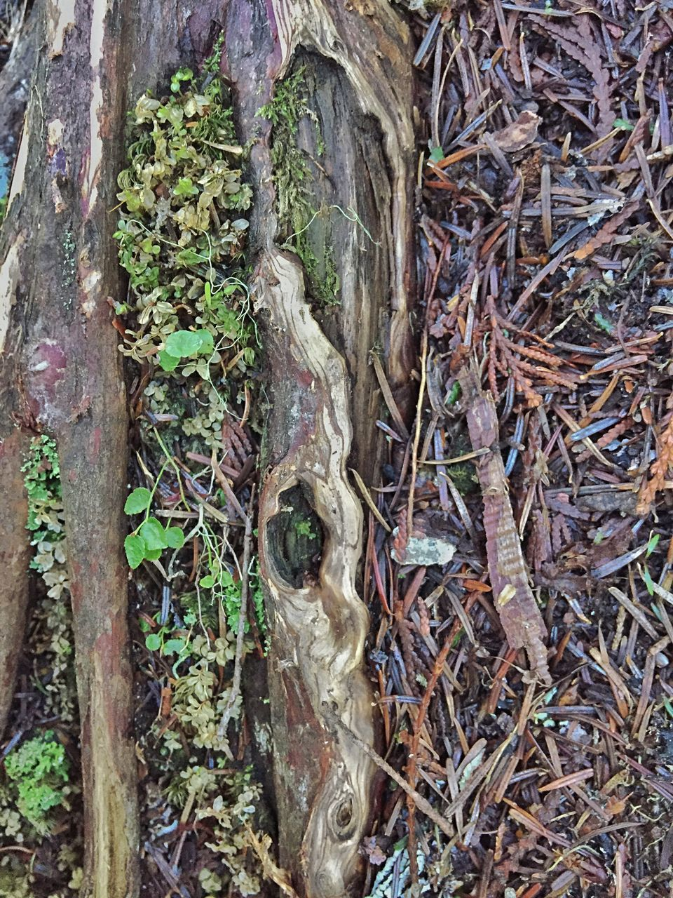 tree trunk, growth, day, outdoors, tree, no people, close-up, bark, nature, plant, textured, moss, lichen, forest
