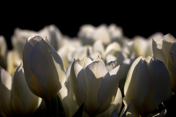 tulips Spring Beauty In Nature Flowering Plant Flower Plant Freshness Vulnerability  Fragility Close-up Growth Petal Inflorescence Flower Head Nature No People White Color Selective Focus Focus On Foreground Sunlight Outdoors Day Black Background