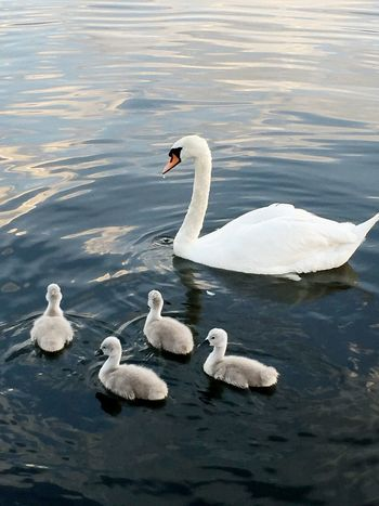 Guten Morgen !!!😊🙆🏻☀️ Good Morning Swans Swans ❤ Swan Lake Hello World Enjoying Life Summertime ♥ Romantic Sommerfeeling Weekend Loveee ♥ Sommer ♡ Naturelovers Itsabeautifulworld Nature Tiere♡ Animals In The Wild Animal Photography Sea Sunday Morning