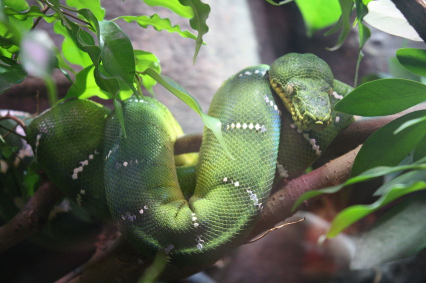 Animal Themes Animals In The Wild Beauty In Nature Branch Branches Close-up Curly Hair Day Green Color Growth Leaf Low Angle View Nature No People One Animal Outdoors Reptile Snake Tree