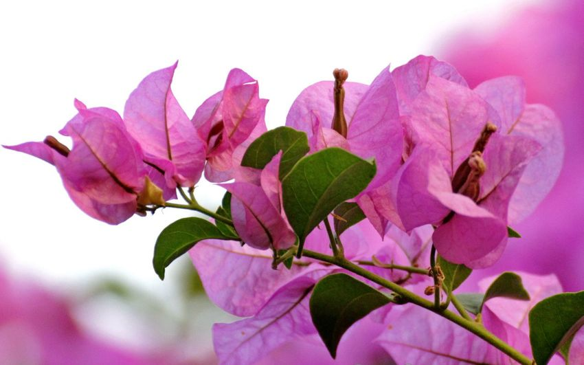 Close-up of pink bougainvillea flowers blooming outdoors