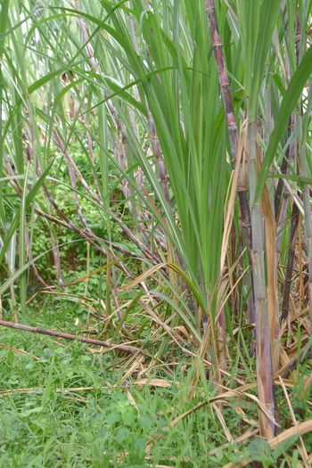 High angle view of bamboo plants on field