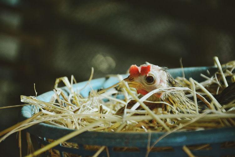 Dwarf chicken in nest in the farm